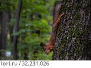 Купить «Белка ест орешек на дереве в лесу», фото № 32231026, снято 28 сентября 2019 г. (c) Николай Винокуров / Фотобанк Лори