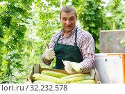 Купить «Male gardener in apron packing marrows to crates in garden», фото № 32232578, снято 13 августа 2018 г. (c) Яков Филимонов / Фотобанк Лори