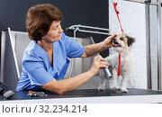 Купить «Woman grooming havanese with cosmetics», фото № 32234214, снято 27 августа 2018 г. (c) Яков Филимонов / Фотобанк Лори