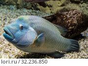 Купить «Тропическая морская рыба наполеон (Cheilinus undulatus) на дне водоема», фото № 32236850, снято 26 июня 2019 г. (c) Наталья Волкова / Фотобанк Лори