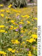 Купить «The plant (Malva sylvestris) grows close-up in spring», фото № 32240358, снято 21 апреля 2019 г. (c) Татьяна Ляпи / Фотобанк Лори