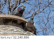 Купить «Two pigeons with rainbow necks and bright eyes sit together on a concrete gray surface looking at a camera in the park in spring on the blue sky background», фото № 32240886, снято 18 февраля 2020 г. (c) Татьяна Куклина / Фотобанк Лори