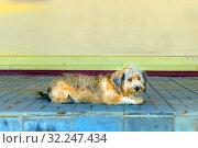 Купить «Shaggy street dog lies on the porch with a sad look.», фото № 32247434, снято 7 мая 2016 г. (c) Акиньшин Владимир / Фотобанк Лори