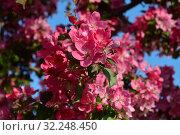 Купить «Цветущая яблоня с яркими розовыми цветками», эксклюзивное фото № 32248450, снято 21 мая 2015 г. (c) lana1501 / Фотобанк Лори