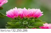 Купить «Pink Aster flower with frost», видеоролик № 32250286, снято 29 сентября 2019 г. (c) Игорь Жоров / Фотобанк Лори
