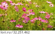 Купить «The Beautiful large pink daisies outdoors», видеоролик № 32251462, снято 30 июля 2019 г. (c) Володина Ольга / Фотобанк Лори
