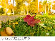 Купить «Кленовые листья на траве», фото № 32253010, снято 3 октября 2019 г. (c) Кристина Викулова / Фотобанк Лори