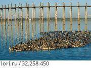 Купить «Стая домашних уток у моста У-Бейн на озере Таунтоме. Амарапура, Мьянма (Бирма)», фото № 32258450, снято 20 декабря 2016 г. (c) Виктор Карасев / Фотобанк Лори
