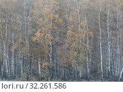 Купить «Берёзовая роща в снегопад осенью», эксклюзивное фото № 32261586, снято 6 октября 2019 г. (c) Дмитрий Неумоин / Фотобанк Лори