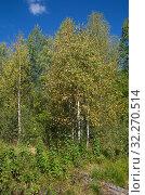 Купить «Осенний пейзаж с березками в лесу», фото № 32270514, снято 14 сентября 2018 г. (c) Елена Коромыслова / Фотобанк Лори