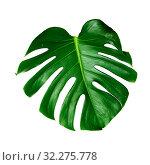 Купить «большой зеленый лист монстеры на белом фоне», фото № 32275778, снято 13 сентября 2019 г. (c) Tamara Kulikova / Фотобанк Лори