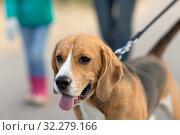 Купить «close up of beagle dog on leash walking outdoors», фото № 32279166, снято 29 сентября 2018 г. (c) Syda Productions / Фотобанк Лори