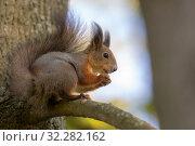 Squirrel close up. Стоковое фото, фотограф Argument / Фотобанк Лори