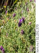 Купить «Plant (Lavandula stoechas) grows in its natural habitat close-up», фото № 32292370, снято 2 мая 2019 г. (c) Татьяна Ляпи / Фотобанк Лори