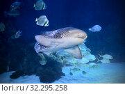 Купить «Леопардовая усатая кошачья акула (Stegostoma fasciatum)», фото № 32295258, снято 18 февраля 2019 г. (c) Татьяна Белова / Фотобанк Лори