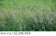 Купить «Wild oats sway in a breeze», видеоролик № 32296054, снято 22 августа 2019 г. (c) Володина Ольга / Фотобанк Лори