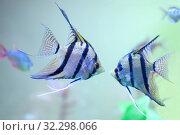 Купить «Две пресноводные рыбы - склярии (Pterophyllum scalare)», фото № 32298066, снято 7 октября 2016 г. (c) Татьяна Белова / Фотобанк Лори