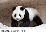 Купить «Большая панда (белая панда)», фото № 32304734, снято 7 ноября 2014 г. (c) Галина Савина / Фотобанк Лори