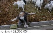 Купить «Herd of Goats Next to Old Barn», видеоролик № 32306054, снято 26 февраля 2020 г. (c) Ints VIkmanis / Фотобанк Лори