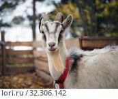 Купить «Portrait of a goat with horns. The animal in the collar», фото № 32306142, снято 15 ноября 2019 г. (c) Ирина Козорог / Фотобанк Лори