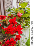 Купить «Blooming red begonia», фото № 32307730, снято 1 августа 2019 г. (c) Юлия Бабкина / Фотобанк Лори