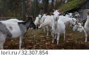 Купить «Herd of Goats Next to Old Barn», видеоролик № 32307854, снято 19 октября 2019 г. (c) Ints VIkmanis / Фотобанк Лори