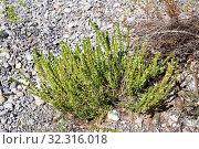 Купить «Mountain savory (Satureja montana) is a aromatic and medicinal subshrub native to Mediterranean Basin. This photo was taken in Rambla Cervera, Castello province, Comunidad Valenciana, Spain.», фото № 32316018, снято 25 сентября 2019 г. (c) age Fotostock / Фотобанк Лори