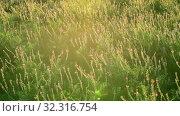 Купить «The Beautiful wild heather closeup a shot. Sunset», видеоролик № 32316754, снято 24 августа 2019 г. (c) Володина Ольга / Фотобанк Лори