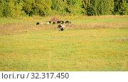 flock of sheep in a pasture in sunset light. Стоковое видео, видеограф Володина Ольга / Фотобанк Лори