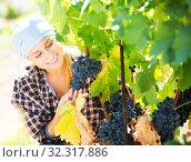 Купить «Woman harvesting grape in farm», фото № 32317886, снято 21 сентября 2016 г. (c) Яков Филимонов / Фотобанк Лори