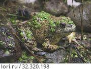 Купить «American bullfrog (Lithobates catesbeianus), Amaru Biopark, Cuenca, Ecuador.», фото № 32320198, снято 11 октября 2019 г. (c) age Fotostock / Фотобанк Лори