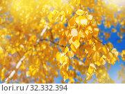 Купить «Lush yellow birch branches», фото № 32332394, снято 20 сентября 2018 г. (c) Икан Леонид / Фотобанк Лори