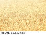 Купить «cereal field with spikelets of ripe rye or wheat», фото № 32332658, снято 31 июля 2016 г. (c) Syda Productions / Фотобанк Лори