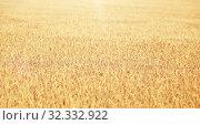 Купить «cereal field with spikelets of ripe rye or wheat», фото № 32332922, снято 31 июля 2016 г. (c) Syda Productions / Фотобанк Лори