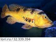 Цихла Келбери (Kelberi Peacock Bass, Cichla kelberi) пресноводная рыба. Стоковое фото, фотограф Татьяна Белова / Фотобанк Лори