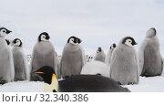 Emperor Penguin chicks ,Aptenodytes forsteri, on the ice. Стоковое видео, видеограф Vladimir / Фотобанк Лори