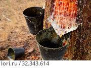 Купить «Extraction of resin in pines, Natural Park at sunny day», фото № 32343614, снято 25 февраля 2020 г. (c) Яков Филимонов / Фотобанк Лори