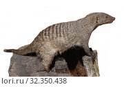 Купить «Banded mongoose (Mungos mungo) on white background», фото № 32350438, снято 29 августа 2019 г. (c) Валерия Попова / Фотобанк Лори