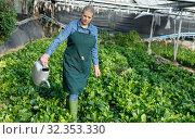 Купить «Woman watering spinach seedling», фото № 32353330, снято 3 октября 2018 г. (c) Яков Филимонов / Фотобанк Лори