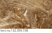 Купить «Slow dolly moving above golden field of ripe natural cereal batley or wheat in a sunny day. Close up view. Slow motion, Full HD video, 240fps, 1080p.», видеоролик № 32359738, снято 22 июня 2017 г. (c) Ярослав Данильченко / Фотобанк Лори
