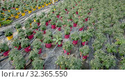Купить «Picture of seedlings of tomatoes growing in pots in greenhouse, nobody», видеоролик № 32365550, снято 26 апреля 2019 г. (c) Яков Филимонов / Фотобанк Лори