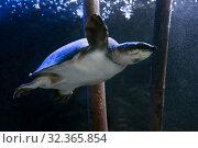 Купить «Двухкоготная черепаха (Carettochelys insculpta) в пресноводном аквариуме», фото № 32365854, снято 28 марта 2019 г. (c) Татьяна Белова / Фотобанк Лори