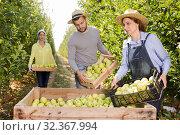 Купить «Workers putting harvested apples in crate», фото № 32367994, снято 28 сентября 2019 г. (c) Яков Филимонов / Фотобанк Лори