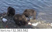 Купить «Three funny yearling Kamchatka brown bear cub - wild beast marauders loot equipment fisherman on river», видеоролик № 32383582, снято 20 августа 2019 г. (c) А. А. Пирагис / Фотобанк Лори