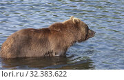 Купить «Hungry brown bear standing in water, looking around in search of food - red salmon fish», видеоролик № 32383622, снято 20 августа 2019 г. (c) А. А. Пирагис / Фотобанк Лори