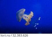 Купить «Jellyfish in the deep blue ocean with bright illuminance», фото № 32383626, снято 18 июля 2019 г. (c) Aleksejs Bergmanis / Фотобанк Лори