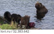 Купить «Brown she-bear watches her three funny yearling bear cub marauders loot equipment fisherman on river bank during spawning red salmon fish», видеоролик № 32383642, снято 20 августа 2019 г. (c) А. А. Пирагис / Фотобанк Лори