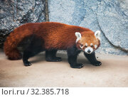 Купить «Малая панда (красная панда)», фото № 32385718, снято 7 ноября 2014 г. (c) Галина Савина / Фотобанк Лори