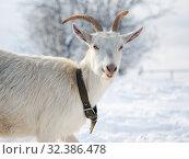 Купить «Portrait of a funny white goat with beautiful horns. Weather cold, winter, snow», фото № 32386478, снято 14 ноября 2019 г. (c) Ирина Козорог / Фотобанк Лори
