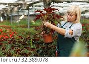 Купить «Mature female gardener working with begonia plants in pots in greenhouse», фото № 32389078, снято 20 августа 2018 г. (c) Яков Филимонов / Фотобанк Лори